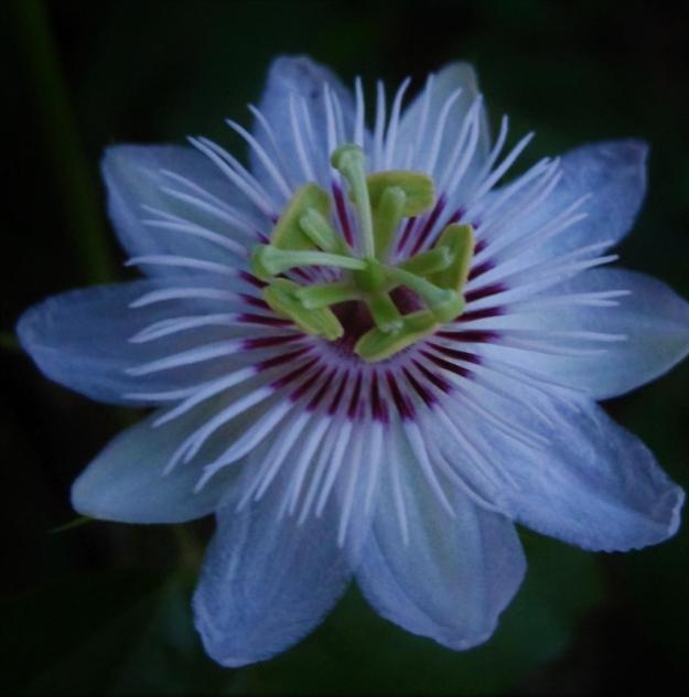 Passiflora (1)