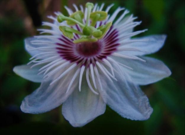 Passiflora (2)