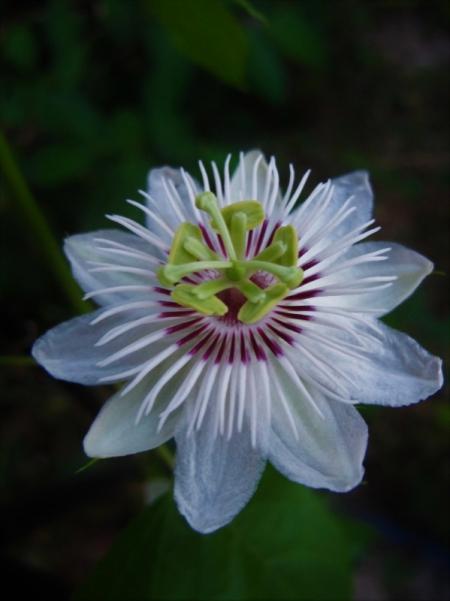 Passiflora (3)